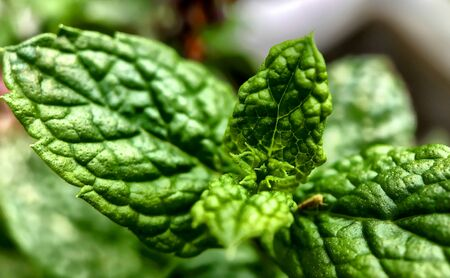 Close up of fresh green mint leafs
