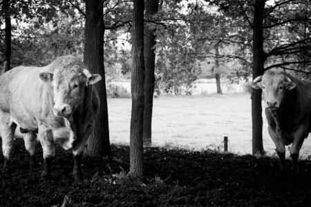 Huge pedigree limosine bull cow grazing in the sun on a summer meadow between the trees in monochrome