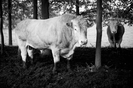 Huge pedigree limosine bull cow grazing in the sun on a summer meadow between the trees in monochrome Stockfoto