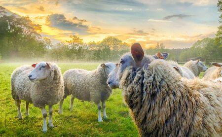 Flock of sheep, staring sheep on grass farmfield under a dramatic sunset or sunrise sky Stok Fotoğraf - 140722833