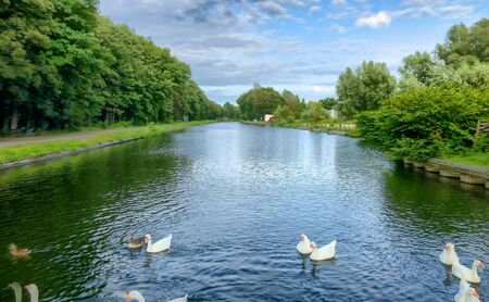 Flock of white geese on the water of a river or canal
