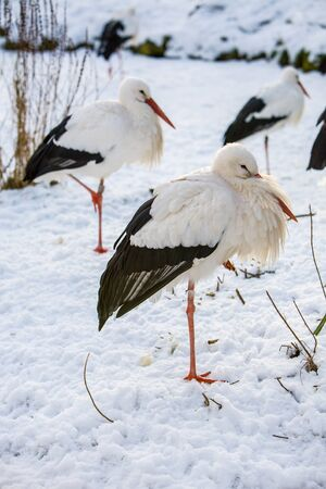 White Stork, ciconia ciconia, standing in snow winter landscape