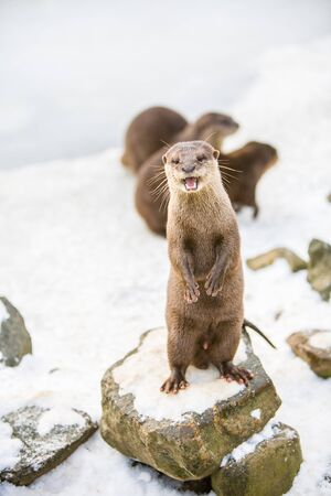 European otter, or Lutra lutra, standing on the rocks in the snow Standard-Bild