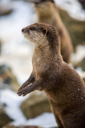 European otter, or Lutra lutra, standing on the rocks in the snow