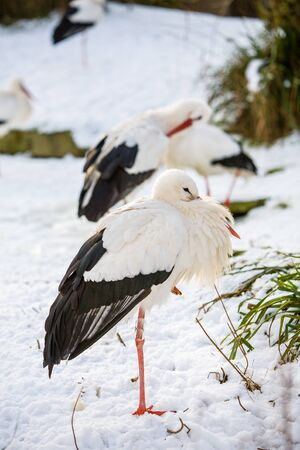 White Stork, ciconia ciconia, standing in snow winter landscape 版權商用圖片