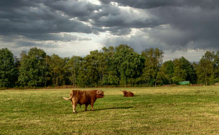 A group of cattle grazing on a lush green field. High quality photo