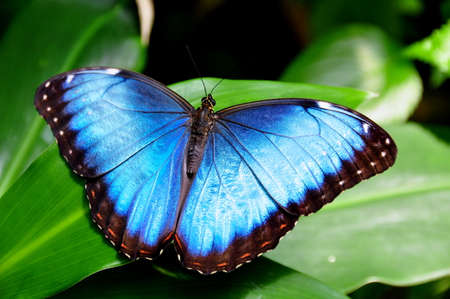 Blue Morpho butterfly photo
