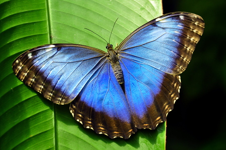 Common Blue Morpho butterfly photo
