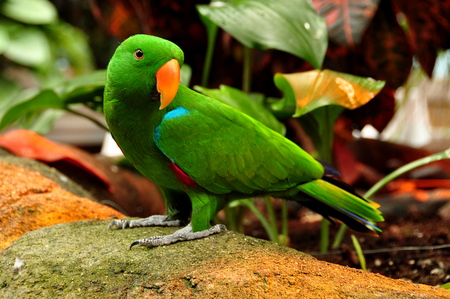 eclectus parrot: An Eclectus parrot poses for its photo