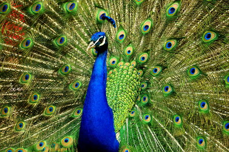Male peacock with tail fanned photo