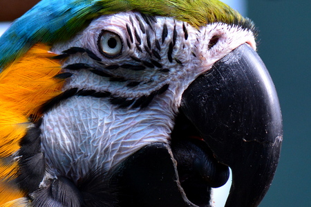 macaw: South American macaw portrait