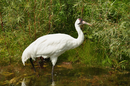 whooping: A whooping Crane stands tall and proud even though it faces extinction.