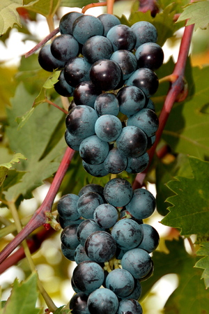 Valpolicella grapes hang from the vine in the vineyard,where they wait to be processed into fine wine. Stock Photo