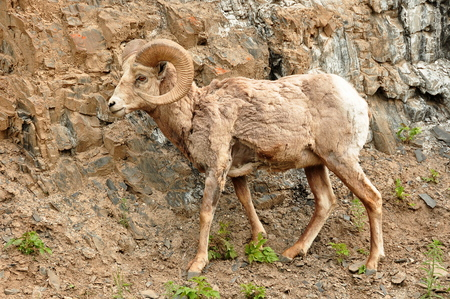 horned: Big horned sheep isolated in Banff national park.