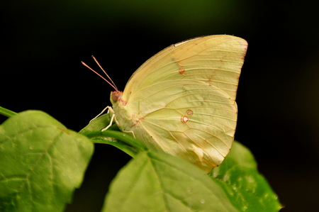 sulfur: Orange-Barred Sulfur butterfly at the garden table. Stock Photo