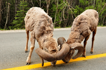 Big horned sheep on highway discussing the yellow lines.