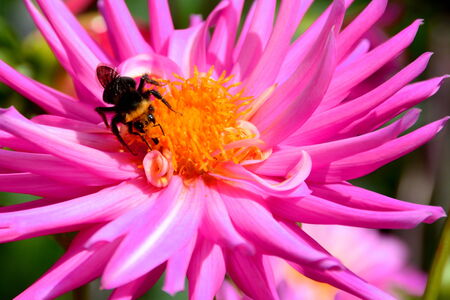 ambrosia: A dahlia bloom with a guest sucking up the ambrosia nectar.