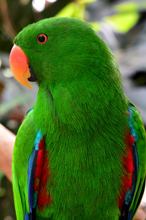 eclectus parrot: Eclectus parrot mugging for the camera in the gardens. Stock Photo