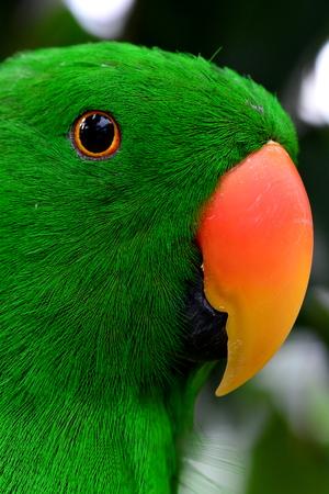 eclectus parrot: Eclectus Parrot close up.Parrot looking into camera.