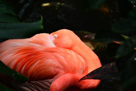 long legged: Pink flamingo snuggles into its own feathery pillow for a cat nap.