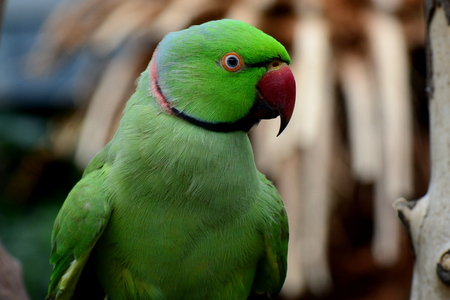 necked: India ring necked parrot portrait.