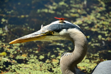 Great Blue Heron head shot with a dragon fly hitch hiker. photo