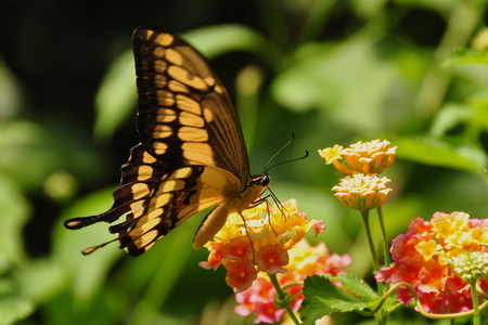 feasting: King Swallowtail butterfly at the garden restaurant feasting on nectar. Stock Photo