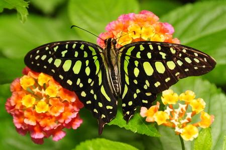 green jay: Atada de jay mariposa se alimentan de néctar en el restaurante del jardín. Foto de archivo