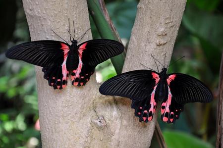 await: A pair of Crimson mormon butterflies await take off.
