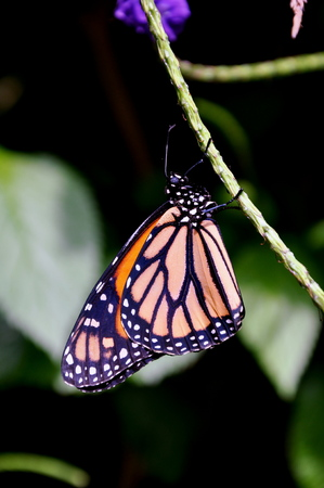 hanging around: Monarch butterfly hanging around in the gardens. Stock Photo