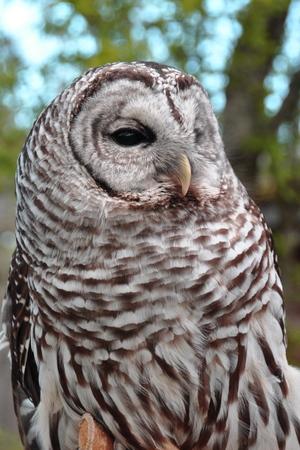 bard: Bard Owl portrait.Bardo the owl mugs for the camera. Stock Photo