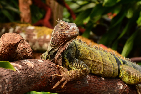 tree dweller: Green Iguana looking at the camera.You looking at me? Stock Photo