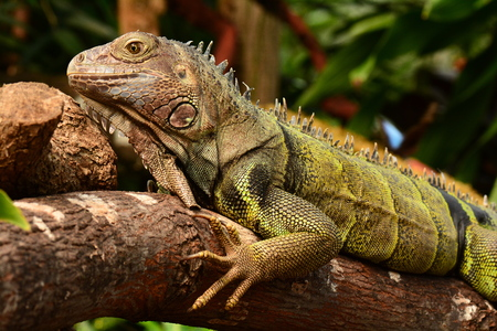 Green Iguana lounging around in the gardens Stock Photo