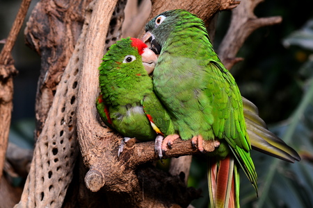 snuggle: A pair of parrot love birds snuggle for the cameraman. Stock Photo