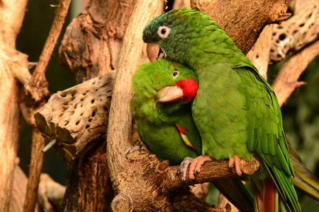 snuggling: A pair of parrot love birds snuggling up to one another in the gardens.