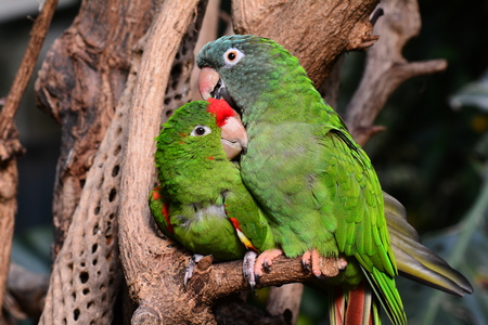 talons: A pair of love struck parrot love birds snuggling in the gardens.