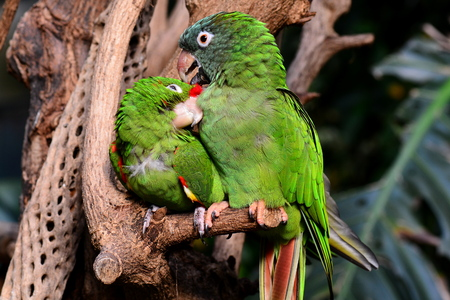 polly: A pair of parrots snuggling close to each other.