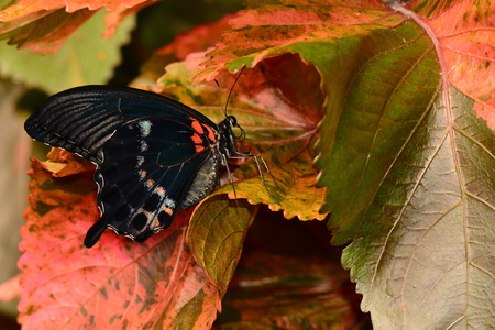 mormon: Mormon butterfly hiding in the gardens. Stock Photo