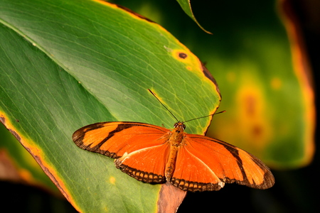 flambeau: Orange Julia butterfly rests on a plant frond in the gardens.