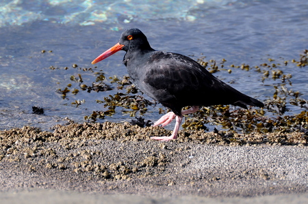 marine bird: An Oyster Catcher bird walks the tide in search for food. Stock Photo