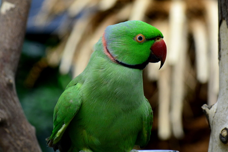 polly: Indian ring necked parrot poses for its photo