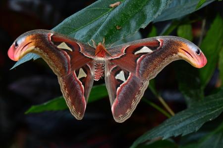 moth: Worlds largest moth,the Atlas moth