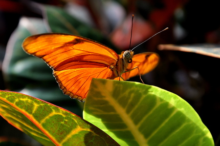 flambeau: Orange Julia butterfly waiting for take off in the gardens.