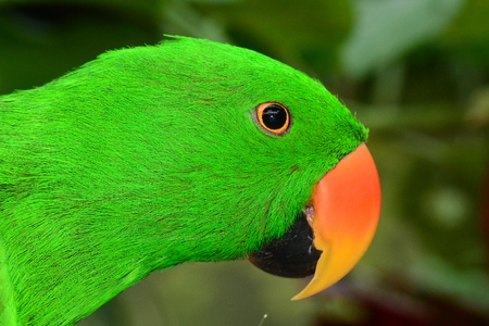 polly: Eclectus Parrot portrait.Head shot of an Eclectus parrot
