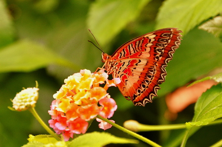 biblis: Red Lace wing butterfly eating at the restaurant outdoor table in the gardens.
