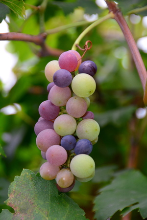 clump: Clump of grapes hanging from the vine in the winery. Stock Photo