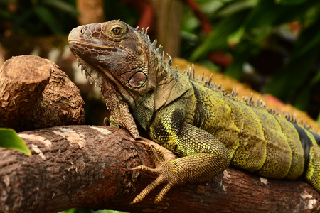 blooded: Iggy the Iguana poses for its photo