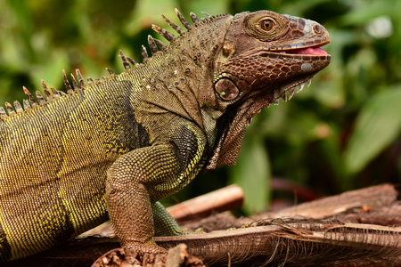 blooded: Iggy the iguana looks on in the gardens.