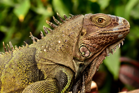 cold blooded: Iggy the iguana pose for its portrait in the gardens. Stock Photo