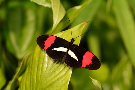 poisonous insect: Postman butterfly relaxing in the butterfly gardens. Stock Photo